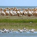 Danube-Delta-Wild-horses-Bird-watching-River-Danube-Pelicans