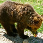 Brown-Bear-Transylvania-Brasov-Bran-Castle-Carpathian-Mountains