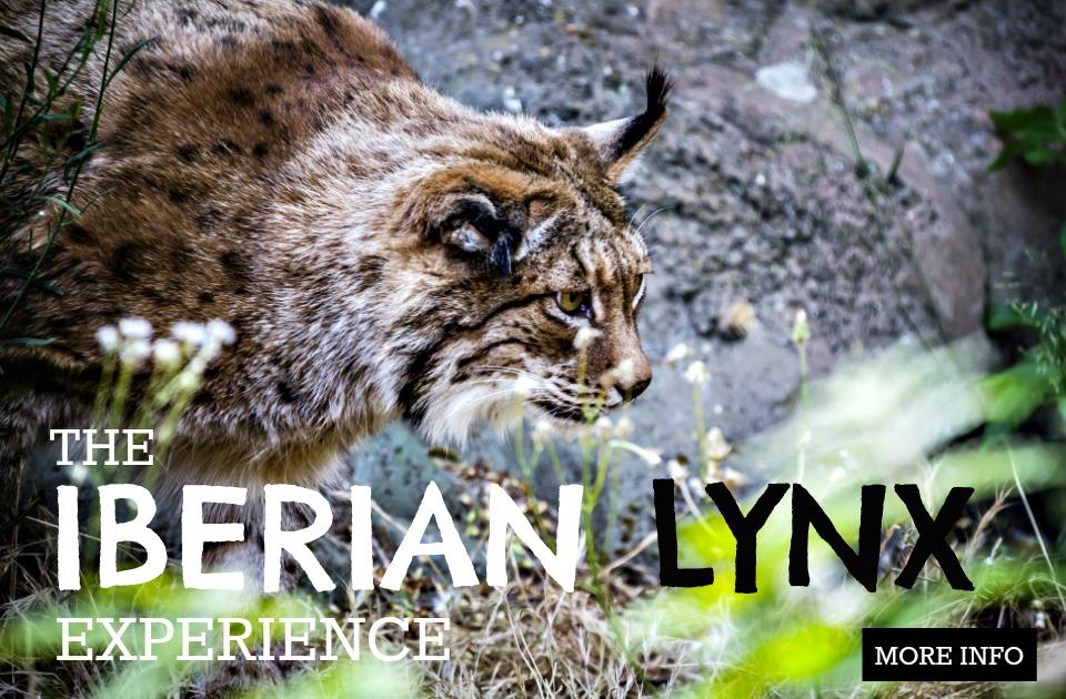 The Iberian Lynx Experience