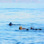 Basking-shark-swimming-with-sharks-seals-oban-wildlife