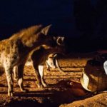 locals feeding the hyenas