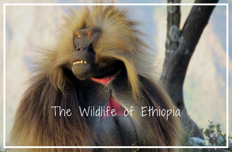 The Wildlife of Ethiopia