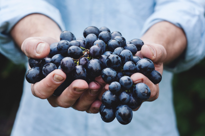 Person holding wine grapes