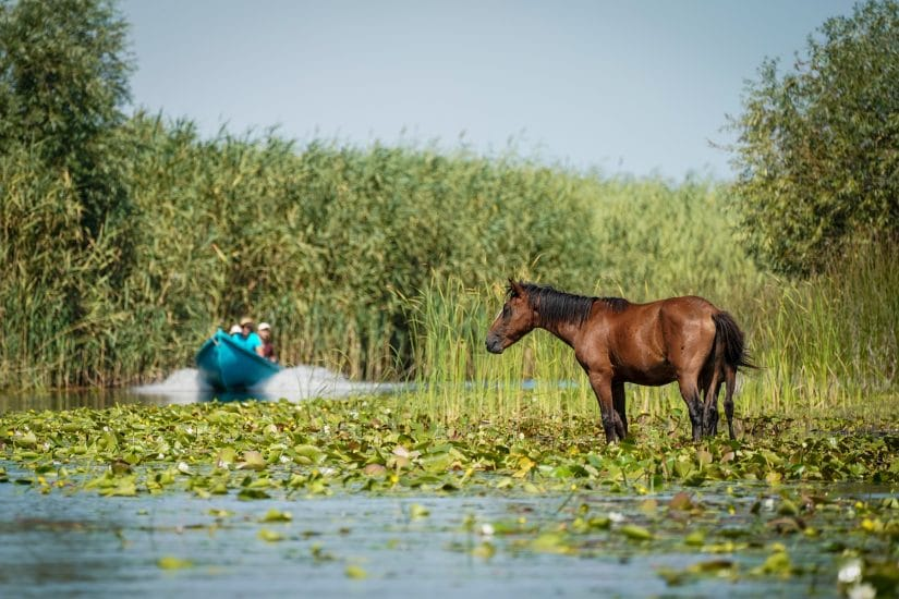 Horse stood in water on danube delta