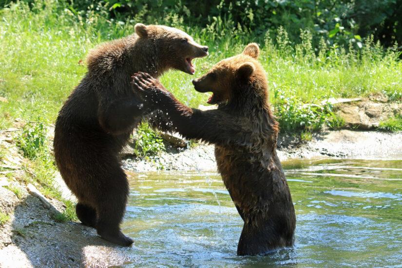 Libearty Sancturary, Brown Bears, Transylvania