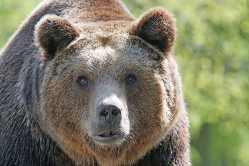Brown Bear Transylvania