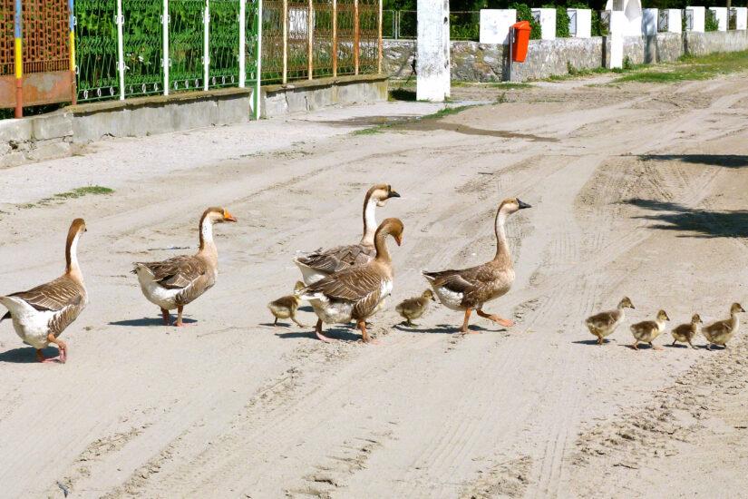 Ducks Sfantu Gheorghe Danube Delta Romania